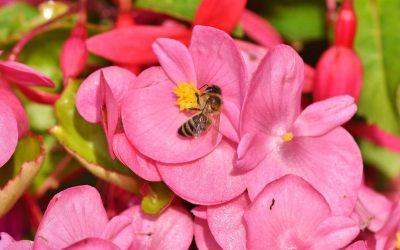Begonias – Upright Varieties That We Grow