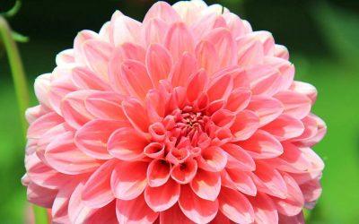 Dahlias – Blooming Sun Lovers!