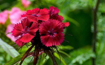 """Dianthus """"Rockin Red"""""""