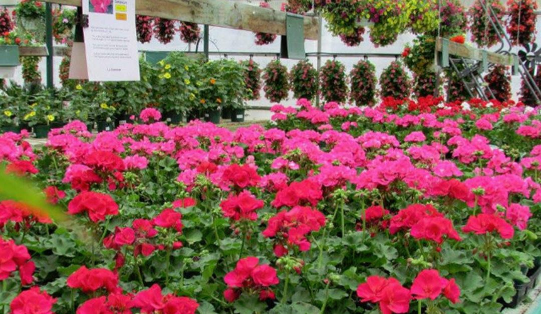 Geraniums – The Most Traditional of Flowers!