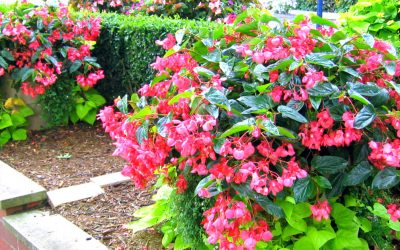 Trailing Begonias – Eye Catching Flowers That Spill Over the Side