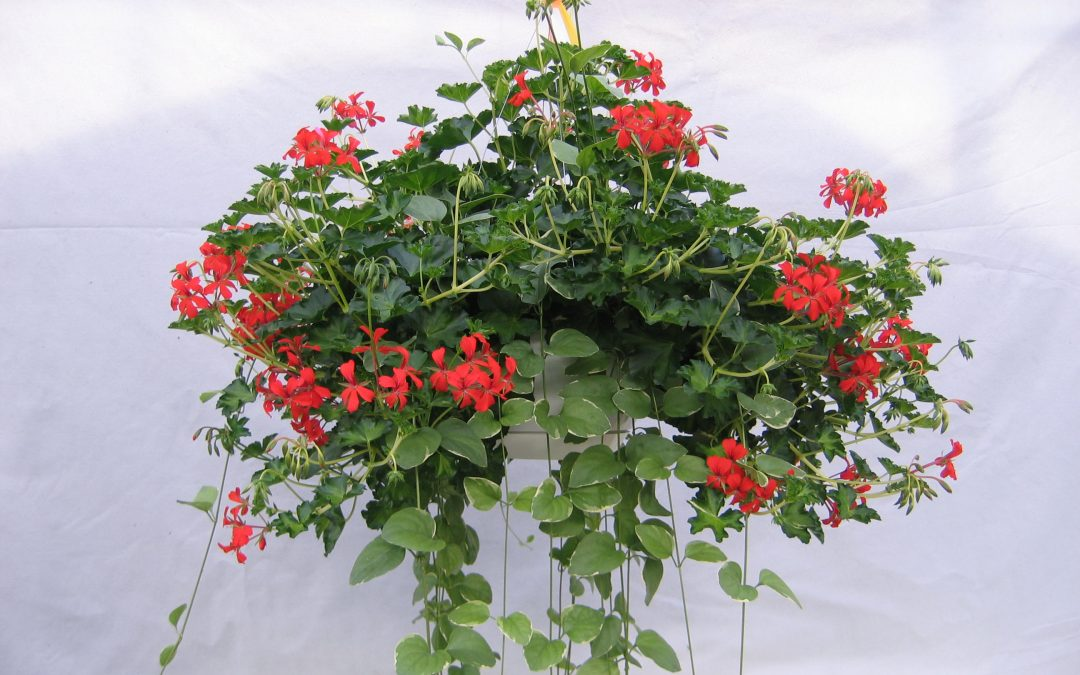Trailing Geranium Care for Hanging Gardens!