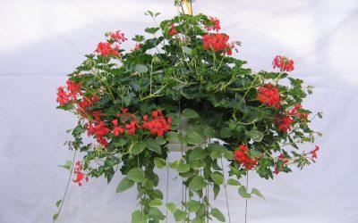 Trailing Geranium Care for Hanging Gardens!